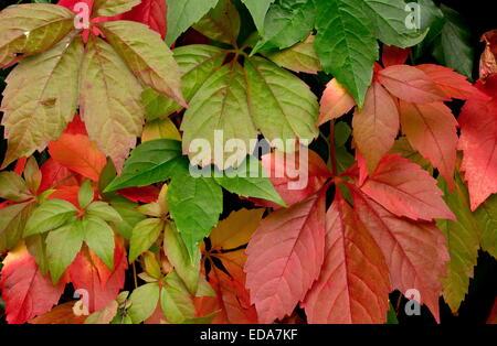 Virginia Creeper, Parthenocissus quinquefolia, in autumn - Stock Photo