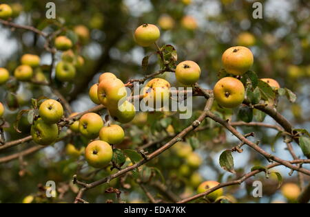 Ripe Wild Crab Apples Malus Sylvestris In The New Forest
