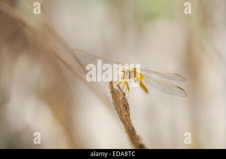 Female Scarlet darter dragonfly (Crocothemis erythraea) resting on a stick. - Stock Photo