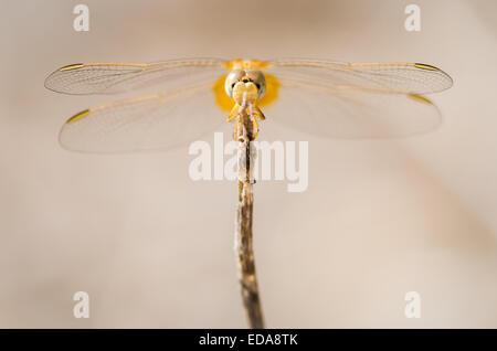 Female Scarlet darter dragonfly (Crocothemis erythraea) resting on a stick. - Stock Photo