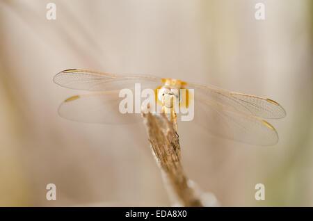 Female Scarlet darter dragonfly (Crocothemis erythraea) resting on a stick - Stock Photo