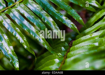 Macro image of fern fronds in a temperate rain forest, Vancouver, Canada - Stock Photo