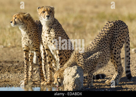 Three cheetah drinking from a waterhole in the Kgalagadi Transfrontier National Park in South Africa. - Stock Photo