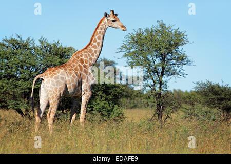 A giraffe (Giraffa camelopardalis) in natural habitat, South Africa - Stock Photo