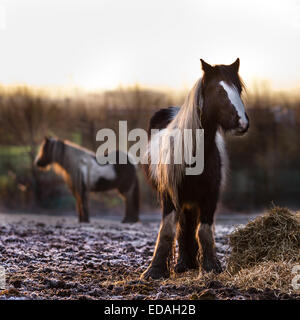 Southport, Merseyside, 4th January,2015 UK Weather.  RSPCA concerned about Horse Welfare nationally.  The RSPCA - Stock Photo