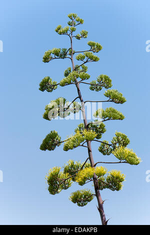Tall flowering spike of the century plant, Agave americana - Stock Photo