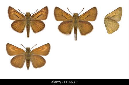 Lulworth Skipper - Thymelicus acteon - male (top) - female (bottom). - Stock Photo