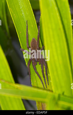 Fen Raft Spider - Dolomedes plantarius - unstriped adult female - Stock Photo