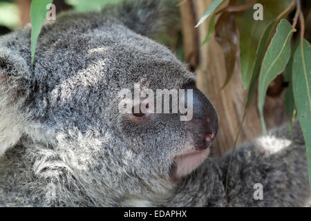 Koala in eucalyptus tree, Queensland, Australia - Stock Photo