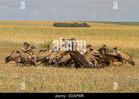 Eurasian Black Vulture - Aegypius monachus with Griffon Vultures - Gyps fulvus - Stock Photo
