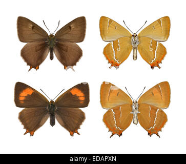 Brown Hairstreak - Thecla betulae - (female - top; male - bottom). - Stock Photo