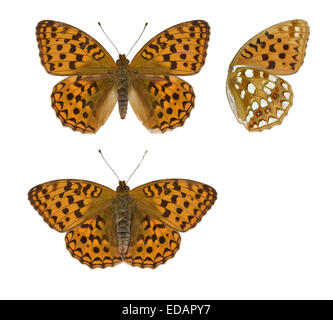 High Brown Fritillary - Argynnis adippe - Stock Photo