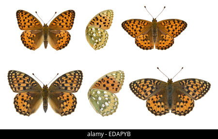 Dark Green Fritillary - Argynnis aglaia - male (top) - female (bottom). - Stock Photo