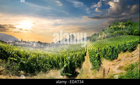 Young vineyard in mountains in the morning - Stock Photo