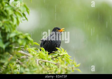 Singin' in the rain. A male blackbird (Turdus merula) sings during a shower in Derbyshire, England. - Stock Photo