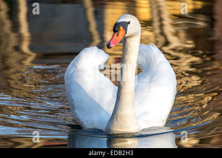 Male royal white swan swimming in lake's water at sunset, frontal view - Stock Photo