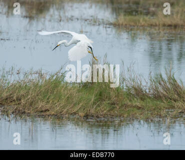 Snowy Egret fishing at Merritt Island NWR - Stock Photo