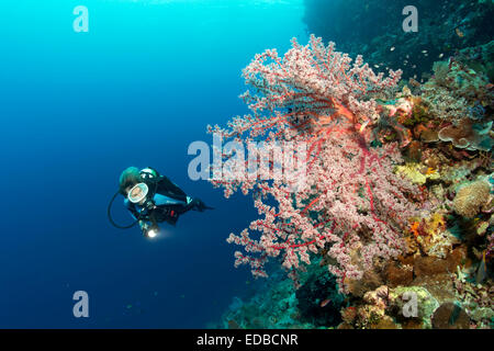 Divers on coral reef cliff looking at Cherry Blossom Coral (Siphonogorgia godeffroyi), Great Barrier Reef, Pacific, - Stock Photo