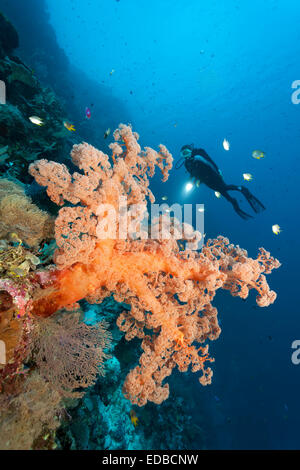 Divers on coral reef cliff looking at large soft coral (Dendronephthya sp.), golden damselfish (Amblyglyphidodon - Stock Photo