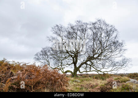 Old bare leafless tree on moorland in Autumn. Owler Tor, Derbyshire, Peak District National Park, England, UK - Stock Photo