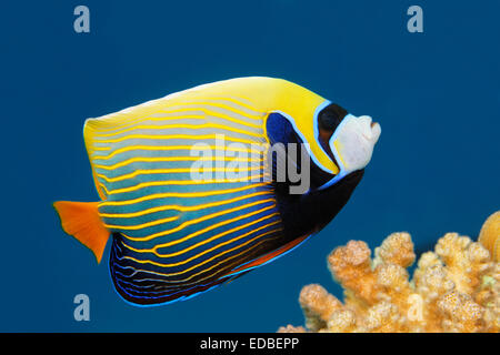Emperor Angelfish (Pomacanthus imperator), Great Barrier Reef, Pacific, Australia - Stock Photo