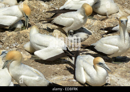 Gannets and chicks in Muriwai gannet colony in Muriwai Regional Park, New Zealand - Stock Photo