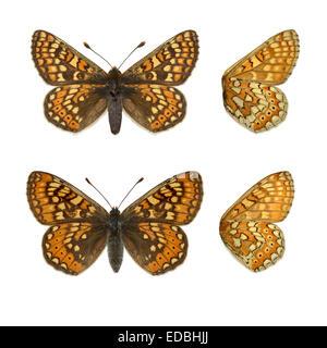 Marsh Fritillary - Euphydryas aurinia - male (top) - female (bottom). - Stock Photo
