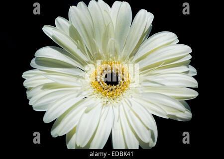 Flower of white gerbera on black background. - Stock Photo