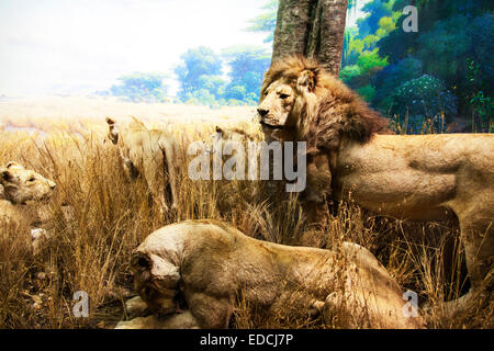 lion pride male female cubs family cats feline relaxing in long grass - Stock Photo