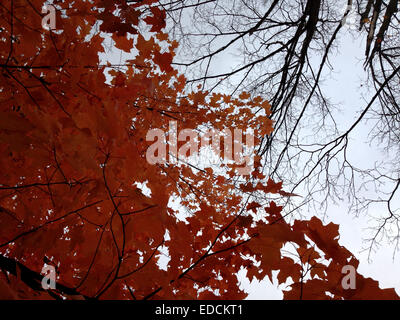 Low-angle shot Change of season from autumn to winter in a Canadian park Contrast of red leafs clusters & slender - Stock Photo