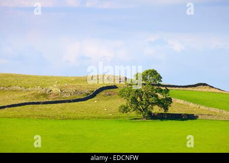 Tree in field in front of drystone walls. Lime Wath Calbeck Lake District National Park Cumbria England United Kingdom - Stock Photo