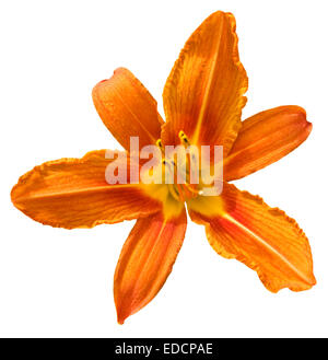 One flower lily of orange colour isolated on white background. Stock Photo