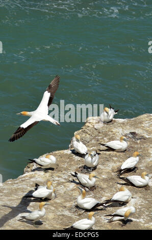 Gannets in Muriwai gannet colony in Muriwai Regional Park, New Zealand - Stock Photo