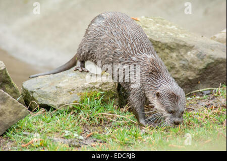 Otters are carnivorous mammals in the subfamily Lutrinae. The 13 extant otter species are all semiaquatic, aquatic - Stock Photo