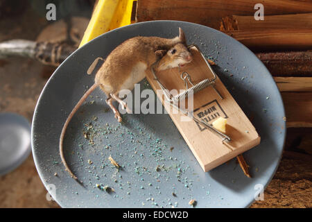A Dead Mouse Caught In A Little Nipper Mouse Trap Using An Almond
