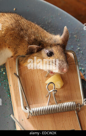 Mouse Caught In Little Nipper Mouse Trap In Woodworking