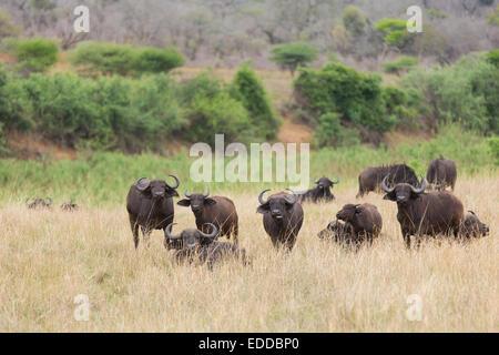 buffalo herd in southern African bush - Stock Photo