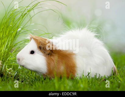 Abyssinian Guinea Pig Cavie Brown white adult grass Germany - Stock Photo
