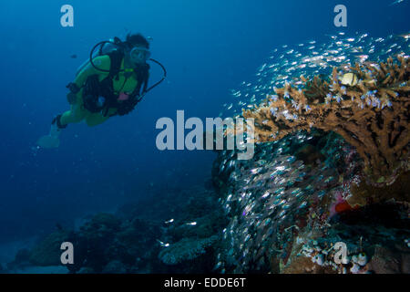 Diver watching a school of Pigmy Sweepers (Parapriacanthus ransonneti), Palau - Stock Photo