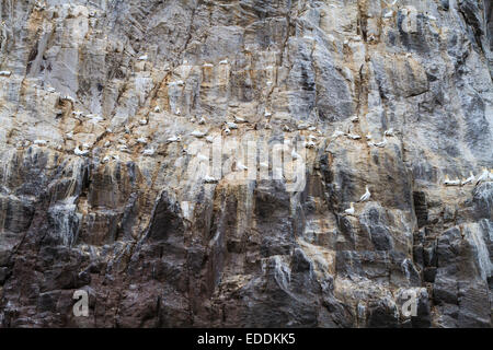 Northern gannet (Morus bassanus) breeding colony. Bass Rock. East Lothian. Scotland. UK. - Stock Photo