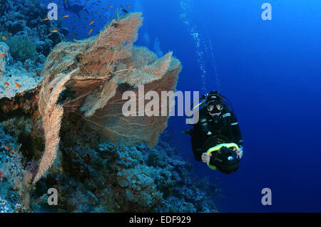 Diver looks at coral purple gorgonian seafan (Gorgonia flabellum) Red sea, Egypt, Africa - Stock Photo