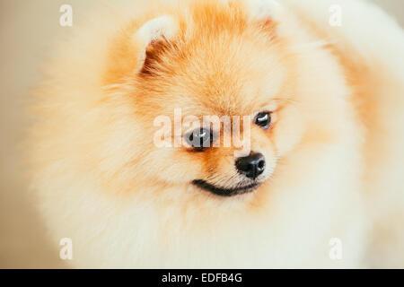 Pomeranian Puppy Small Spitz Dog Close Up Portrait - Stock Photo