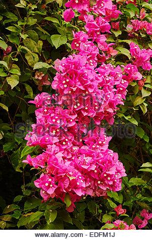 Pink climbing flowers bougainvillea stock photo 90258827 alamy bougainvillea spectabilis bright pink flowers climbing plant stock photo mightylinksfo