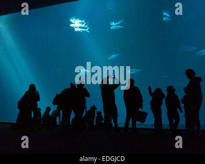 Visitors in Monterey Aquarium watching various species of fish in spacious sunlit seawater cave aquarium Monterey - Stock Photo