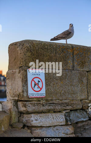 Seagull perched on wall. Swanage, Dorset. UK. - Stock Photo