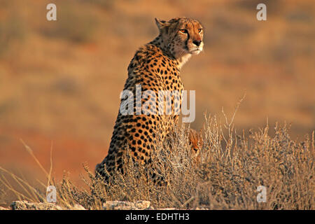 cheetah and cub next to mother sitting on lookout vantage point in early morning light Kgalagadi Transfrontier Park South Africa Stock Photo