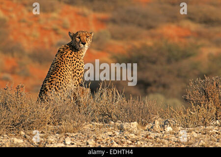cheetah and cub next to mother sitting on lookout point in the early morning light Kgalagadi Transfrontier Park - Stock Photo