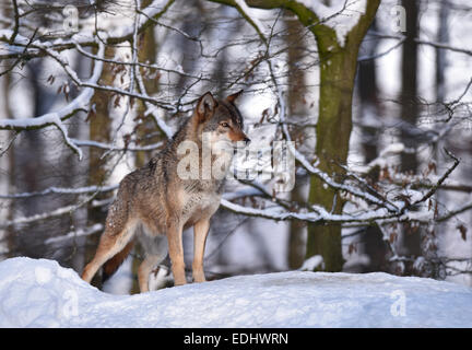 Northwestern wolf (Canis lupus occidentalis) in the snow, attentive, captive, Baden-Württemberg, Germany - Stock Photo