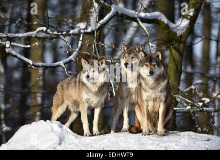 Three wolves on look out, Northwestern wolf (Canis lupus occidentalis) in the snow, captive, Baden-Württemberg, - Stock Photo