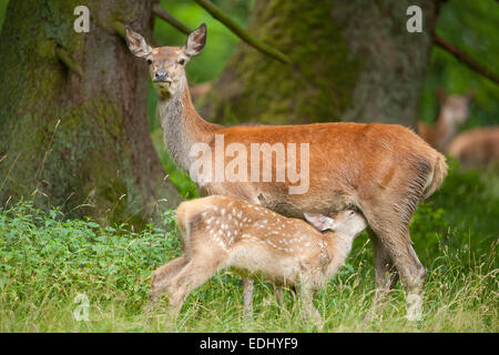 Red Deer (Cervus elaphus), hind with suckling fawn, captive, Bavaria, Germany - Stock Photo